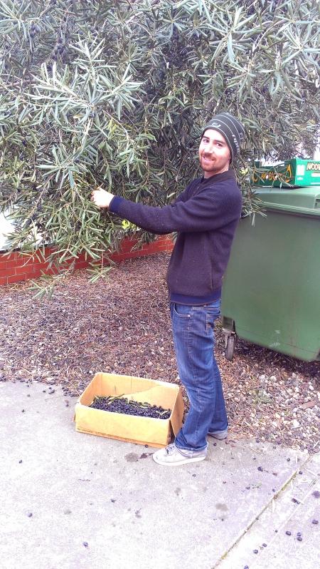 Greg harvesting olives in Footscray Photo: Greg Foyster